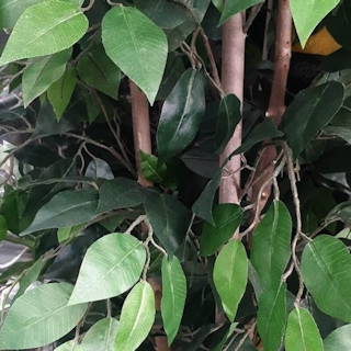 6ft Artificial Ficus Benjamina Tree