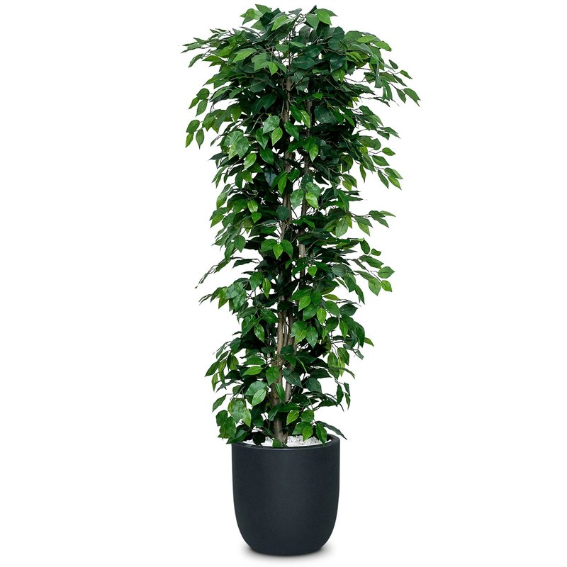 6ft Artificial Ficus Nitida Tree/