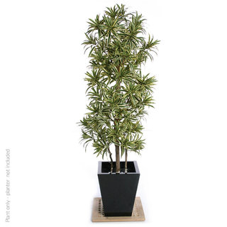 Artificial Dracaena Song of India 180cm with Natural Tree Trunk (Fire Retardant)